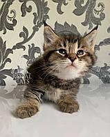 Кошечка Чаузи Ф2 (pink collar) дата рождения 27.03.2020. Питомник Royal Cats. Украина, Киев