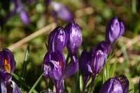 Луковичные в саду и естественность, советы ландшафтного дизайнера