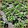 "Агроволокно  пакетированное 50 г/м² чёрное 1,6х10 м. ""Shadow"" (Чехия) 4%, фото 7"
