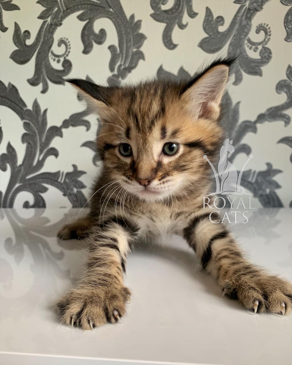 Кошеня Чаузи Ф2 (white collar) дата народження 27.03.2020. Розплідник Royal Cats. Україна, Київ