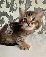 Котёнок Чаузи Ф2 (red collar) дата рождения 27.03.2020. Питомник Royal Cats. Украина, Киев, фото 1