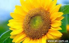 Семена подсолнечника  НК Долби (обработан Круизером)