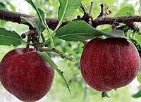 Шарафуга (гибрид сливы, персика и абрикоса дерево среднерослое)