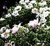 Древовидный пион, виды   4 года