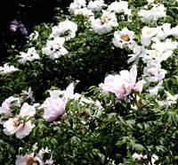 Древовидный пион, виды   4 года, фото 1