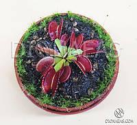 Венерина Мухоловка (типичная форма) - хищное, насекомоядное, экзотическое не большое растение. Размер S