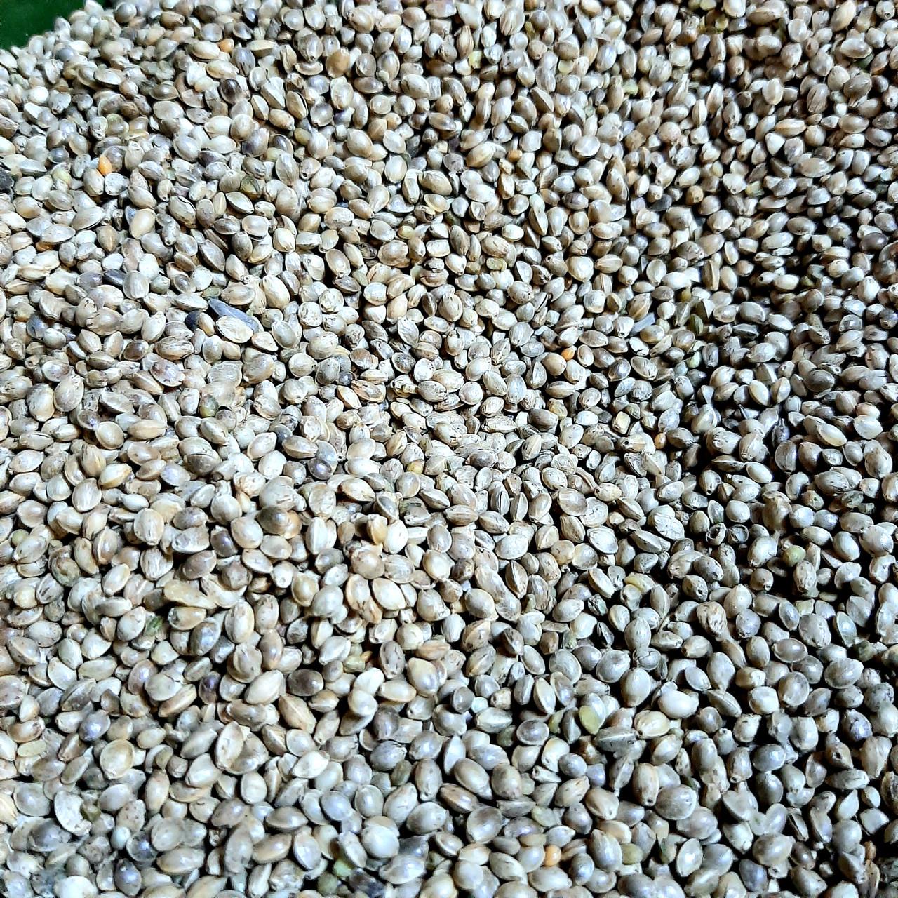 Семена конопли купить для рыбалки производство конопли в домашних условиях