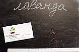 Лаванда настоящая семена (20 шт) леванда, лавенда, цветная трава + инструкция + подарок, фото 5