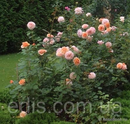 Роза Сэр Ланселот (Sir Lancelot) английская флорибунда, фото 2