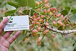 Семена фисташки (10 штук) орехи Pistácia véra для сеянцев и саженцев, горіх насіння фісташкі для саджанців, фото 5