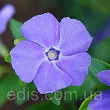 Барвинок малый гибридный La Grave (Ла Грейв) голубые цветки