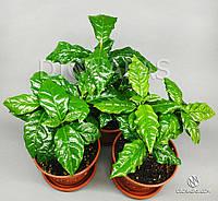 Кофе Арабика (Coffea Arabica) - плодоносящее, комнатное, многолетнее, красиво цветущее, полезное растение