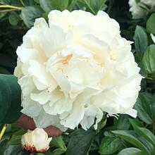 Пион травянистый Duchesse de Nemours (Дюшес де Немур )(Гигантский цветок) деленка.