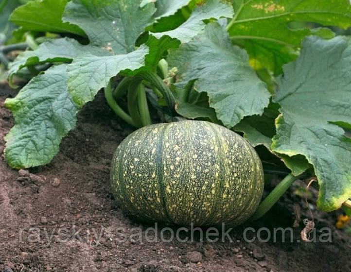 Семена тыквы сорт Голосемянная 0.5 кг