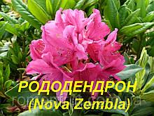 "Саженцы Рододендрона ""Nova Zembla"" (ЗКС) 3 г."