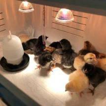 """Ясли для цыплят """"Теплуша"""", фото 3"""