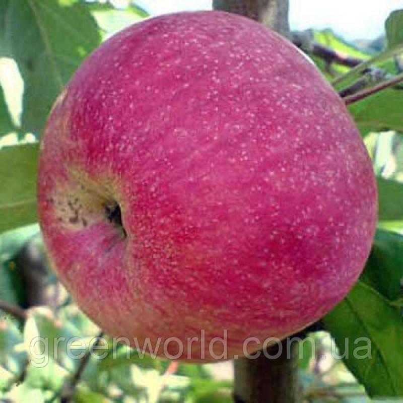 Саженец яблони Слава Победителям