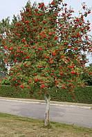 Горобина звичайна (Sorbus)
