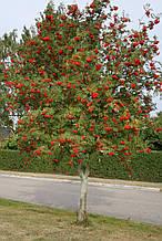 Рябина обыкновенная (Sorbus)