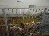 Стовпи для огорожи на свиноферму висотою 50 см