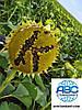 Семена подсолнечника под Гранстар КАРАТ с урожайностью выше 30 центнер. Гибрид КАРАТ устойчивый к засухе и заразихе пяти расам А-Е. Стандарт и Экстра фракции. Урожай 2019 года.