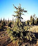Ель обыкновенная Акрокона (Picea abies Acrocona), фото 4