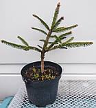 Ель обыкновенная Акрокона (Picea abies Acrocona), фото 5