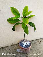 Саженцы авокадо, фото 1