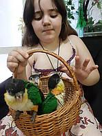 Пташенята Каіка чорноголового для дітей