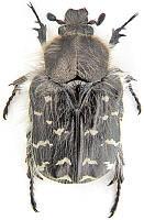 Феромонная ловушка Бронзовка мохнатая/Волохата оленка
