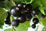 Саженцы черной смородины Багира