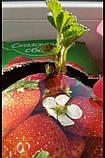 """Чудо-ягодница """"Сказочный сбор"""" набор для выращивания клубники на подоконнике, фото 5"""