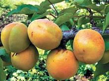 Саджанці абрикоса Самбурський ранній