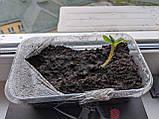 """Чудо-ягодница """"Сказочный сбор"""" набор для выращивания клубники на подоконнике, фото 7"""
