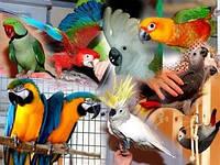 Ручные попугаи — птенцы по ценам Украины
