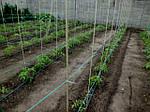 Кілочки для підв'язування низькорослих витких рослин, розсади Ø 7 мм (1 метр), фото 4