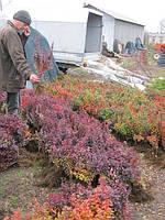 Барбарис Тунберга для созданий зеленой изгороди, фото 1