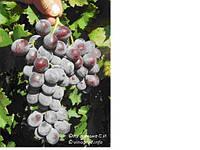 Продам собственно корневые саженцы винограда Изабелла розовая крупноплодная