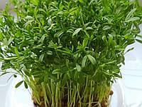 Семена чечевицы 1кг на микрозелень