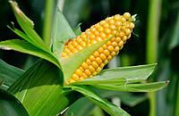 Кукуруза Оржиця 237 МВ (ФАО 240)