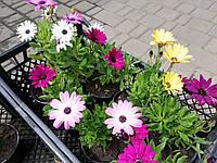 Диморфотека смесь цветов (рассада)