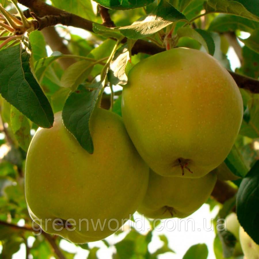 Саженцы яблони Снежный Кальвель