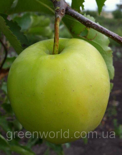 Саженцы яблони Грин Сливз