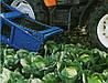 Капуста поздняя Амтрак F1 100 семян