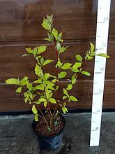 Дерен белый 'Sibirica', (h 40-60)