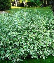 Дерен білий 'Сібіріка Варієгата', (h 60-100), фото 2