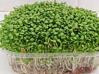 Семена клевера 1кг на микрозелень