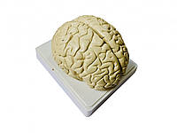 "Модель ""Головний мозок людини"" / Модель ""Головной мозг человека"""