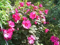 Гибискус травянистый розовый   Гібіскус травянистий рожевий (ЗКС; горшок 2 л)