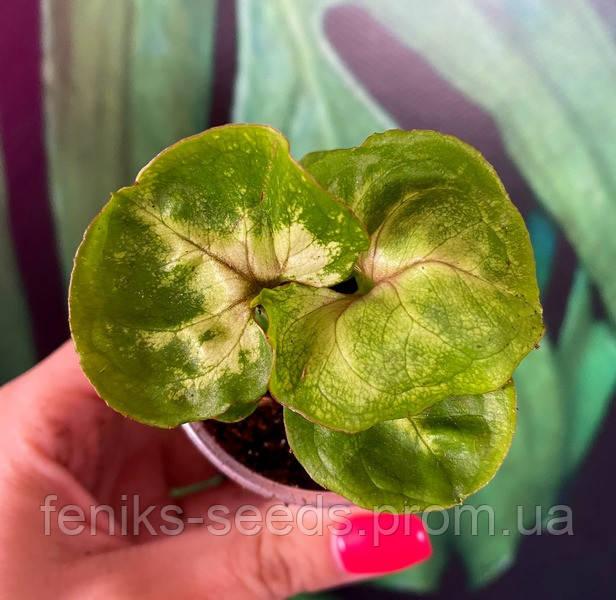 Сингониум Кудрявый салат молодое растение